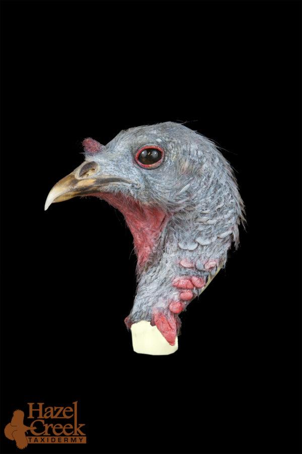 Turkey Hen Head Standing