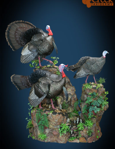Gobbler Duo and Hen Walk on Rock Scenery